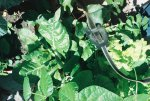 greenswisschardbeets-r1-5